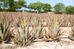 Aloe Vera: plantation of medicinal aloe vera Stock Image