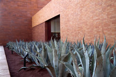 Aloe Vera Plants. A row of aloe vera plants with a brick building in the background Royalty Free Stock Image