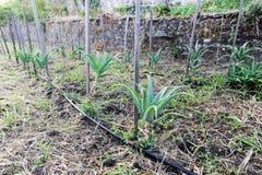 Aloe Vera plants Royalty Free Stock Photography