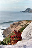Aloe vera plants. Growing on rocky coastline Stock Images
