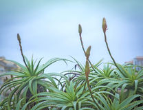 Aloe vera plants with buds Royalty Free Stock Image