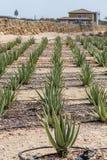 Aloe Vera Plants con i tubi flessibili di irrigazione Fotografia Stock Libera da Diritti