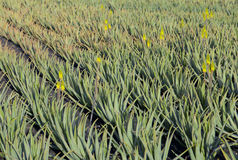 Aloe Vera plants on the field in the north of Lanzarote Stock Image