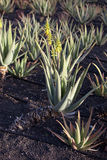 Aloe Vera plants on the field in the north of Lanzarote Royalty Free Stock Photo