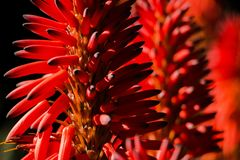 Close-up of an Aloe Vera flower with more flowers background royalty free stock images