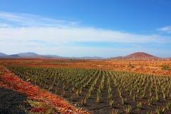 Aloe vera plants, Fuerteventura Royalty Free Stock Photos