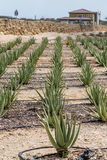 Aloe Vera Plants med bevattningslangar Royaltyfri Fotografi