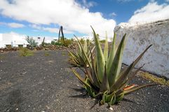 Aloe vera plants on a rock field Stock Photography