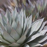 Aloe vera plants, tropical green plants tolerate hot weather. Stock Image