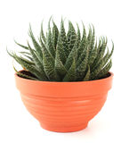 Aloe vera in a pot. Royalty Free Stock Images