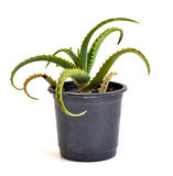 An Aloe Vera in a pot Stock Photo