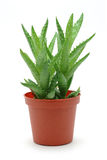 Aloe vera in pot Stock Image