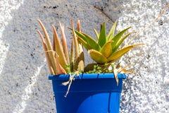 Aloe vera in POT Foglie di aloe su fondo bianco Immagini Stock