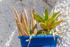 Aloe vera in POT Foglie di aloe su fondo bianco Fotografia Stock