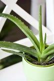 Aloe vera in pot Royalty Free Stock Photography