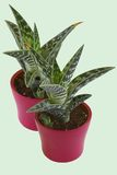 Aloe vera in a pot the light background. Houseplants isolated on bright background Royalty Free Stock Images