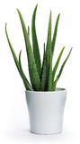 Aloe vera. Pot with aloe vera on white background Royalty Free Stock Photography