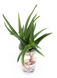 Aloe vera with roots in a glass of water. Aloe vera is a stemless succulent plan. Sprouting roots in a glass of water stock photo