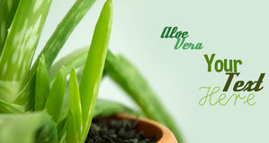 Aloe Vera with sample text. Stock Photos