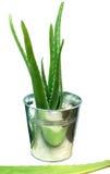 Aloe vera in secchio ametal Fotografia Stock