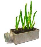 Aloe vera small plant cactus Stock Photography