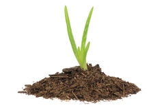 Aloe Vera in Soil Royalty Free Stock Photography
