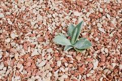 Aloe vera sopra la pietra Immagini Stock Libere da Diritti