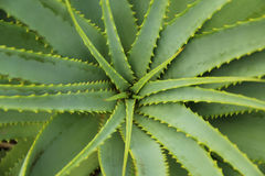 Aloe Vera Spikey plant top view Royalty Free Stock Photography
