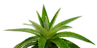 Aloe Vera su bianco Fotografia Stock