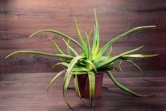 Aloe vera su fondo di legno Immagini Stock