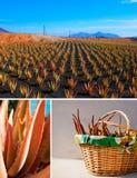 Aloe vera su Fuerteventura Fotografia Stock