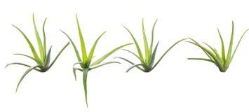 Aloe vera su priorità bassa bianca Immagini Stock Libere da Diritti