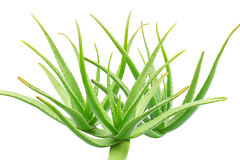Aloe vera su priorità bassa bianca Immagini Stock
