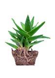 Aloe vera su priorità bassa bianca Fotografie Stock