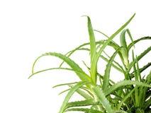 Aloe vera su priorità bassa bianca Spazio vuoto per testo Fotografia Stock