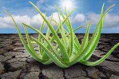 Aloe Vera sulla terra incrinata Fotografia Stock Libera da Diritti