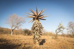 Aloe Vera Trees Botswana Africa Royalty Free Stock Image