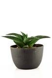 Aloe vera in un POT Fotografie Stock Libere da Diritti