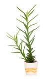 Aloe vera in un vaso Immagine Stock Libera da Diritti