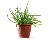 Aloe vera in un vaso, pianta curativa medica per il trattamento della pelle Immagini Stock Libere da Diritti