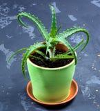 Aloe vera in vaso da fiori Fotografia Stock Libera da Diritti