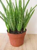 Aloe vera in vaso di fiore Fotografia Stock Libera da Diritti