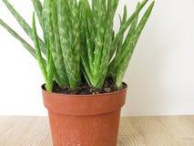 Aloe vera in vaso di fiore Fotografie Stock