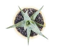 Aloe vera in vaso su fondo bianco Fotografia Stock