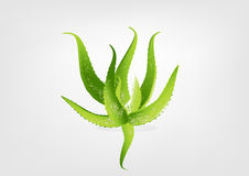 Aloe vera vector illustration Stock Images