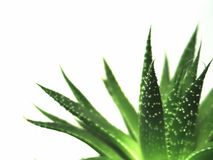 Aloe Vera verlässt 2 Lizenzfreies Stockfoto