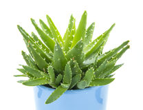 Aloe vera. With water drops isolated on white background Royalty Free Stock Photography