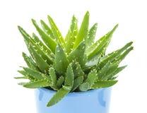 Aloe vera royalty free stock photography