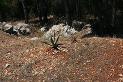 Aloe vera. Wild aloe vera plant - dalmatia Royalty Free Stock Images