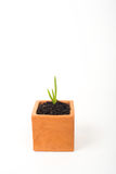 aloe vera young plant in pot Stock Image